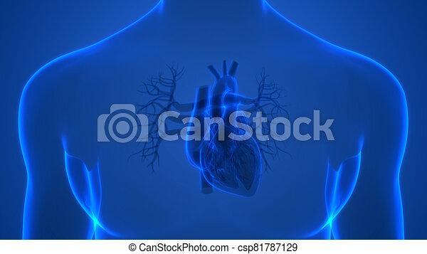 übertragung, system, internes herz, organ, röntgenaufnahme, koerperbau, zirkulierend, 3d, menschliche  - csp81787129