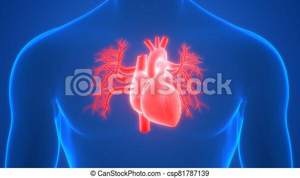 übertragung, system, internes herz, organ, röntgenaufnahme, koerperbau, zirkulierend, 3d, menschliche  - csp81787139