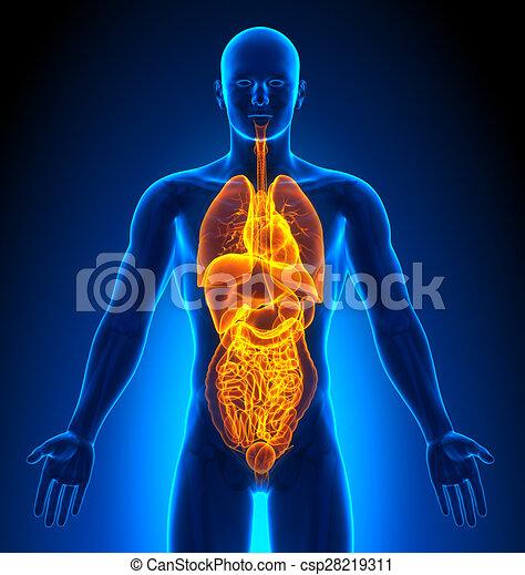 Medizinische Bildgebung - männliche Organe - csp28219311