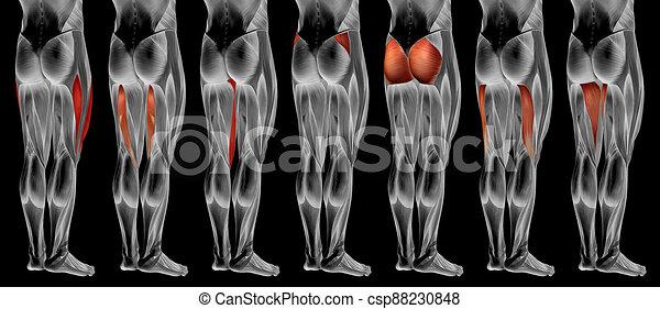 3d, höher, oder, anatomisch, koerperbau, satz, muskel, menschliche , sammlung, bein - csp88230848