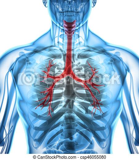 3D Illustration von Larynx trachea bronchi. - csp46055080