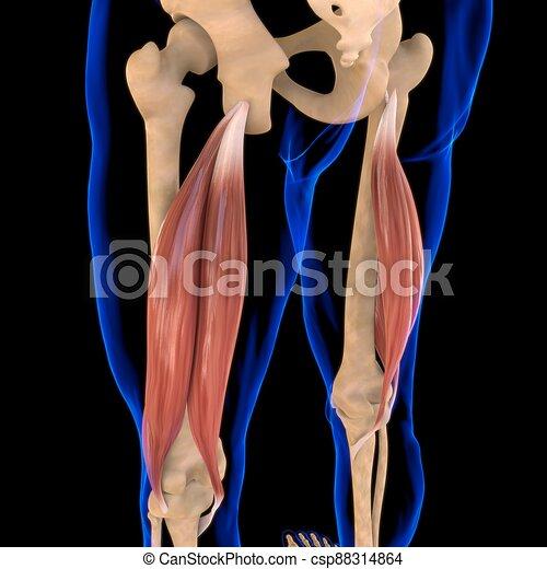 3d, muskel, femoris, abbildung medizinisch, begriff, koerperbau, bizeps - csp88314864