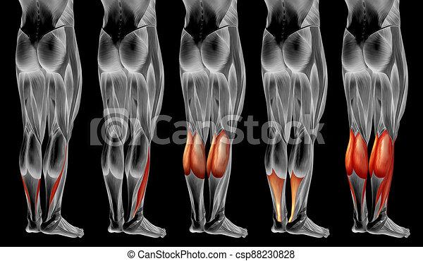 3d, oder, anatomisch, koerperbau, senken, satz, muskel, menschliche , sammlung, bein - csp88230828