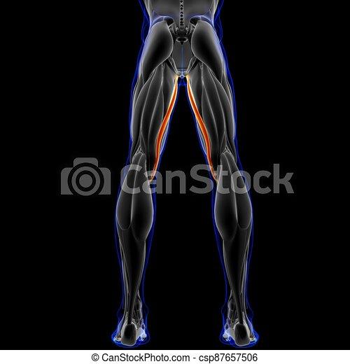 abbildung, 3d, begriff, muskel, koerperbau, gracilis, medizin - csp87657506
