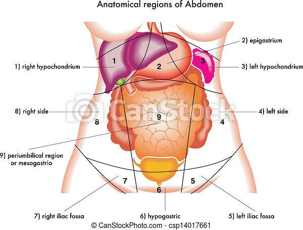 abdomen - csp14017661