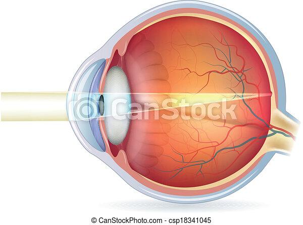 abschnitt, auge, normal, kreuz, menschliche , vision - csp18341045