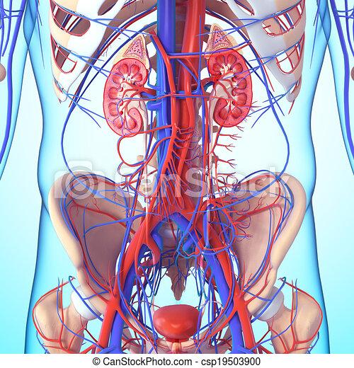 Anatomie des Nierenkreuzteils - csp19503900