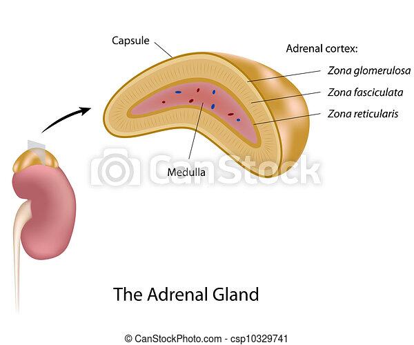 Die Adrenalindrüse, Eps10 - csp10329741