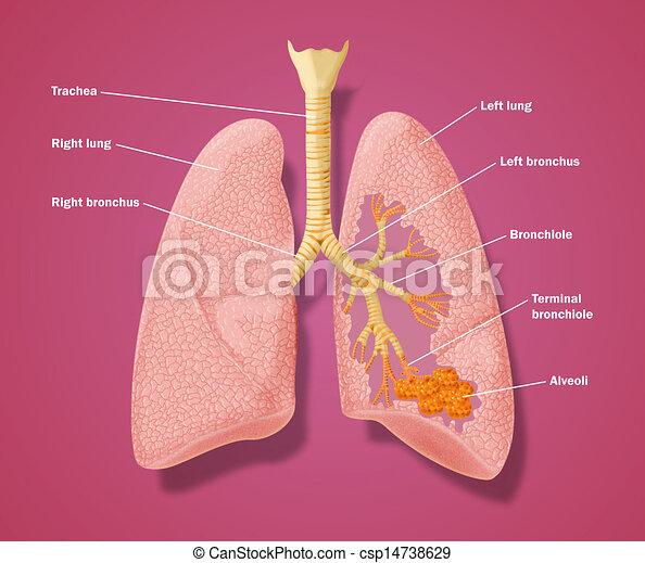 Anatomie des Atemtrakts - csp14738629
