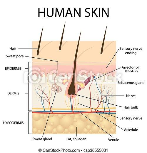 anatomy., abbildung, menschliche haut - csp38555031