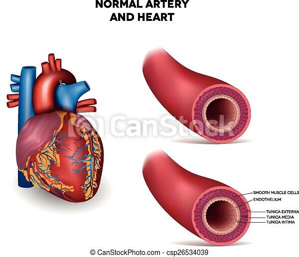 arterie, herz - csp26534039