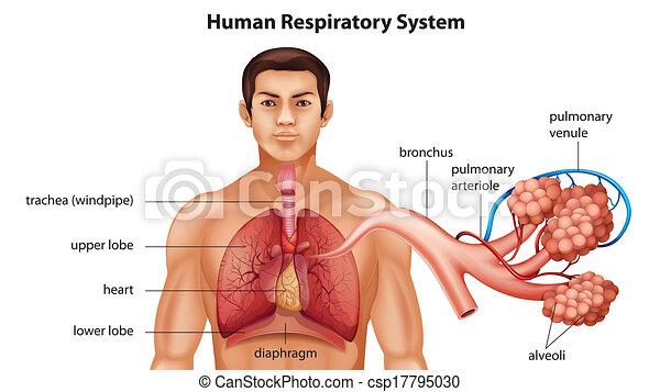 Atemsystem der Menschen. - csp17795030