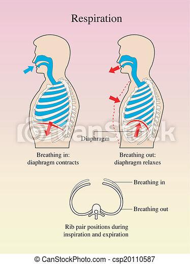 Atmung. - csp20110587