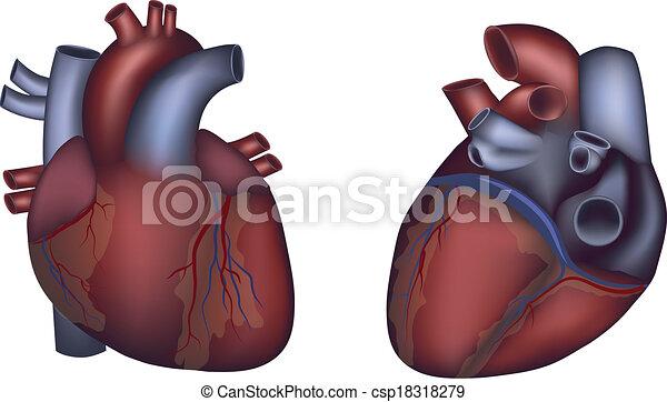 Menschliches Herz detaillierte Anatomie, buntes Design - csp18318279