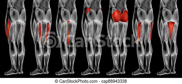 bein, menschlicher muskel, satz, anatomisch, höher, 3d, sammlung, koerperbau, oder - csp88943338