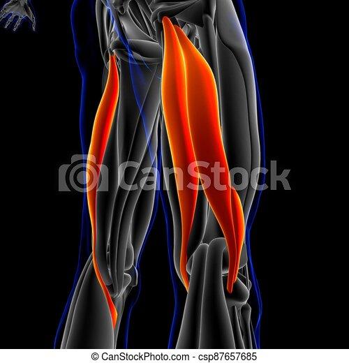 bizeps, femoris, 3d, koerperbau, muskel, abbildung, begriff, medizin - csp87657685