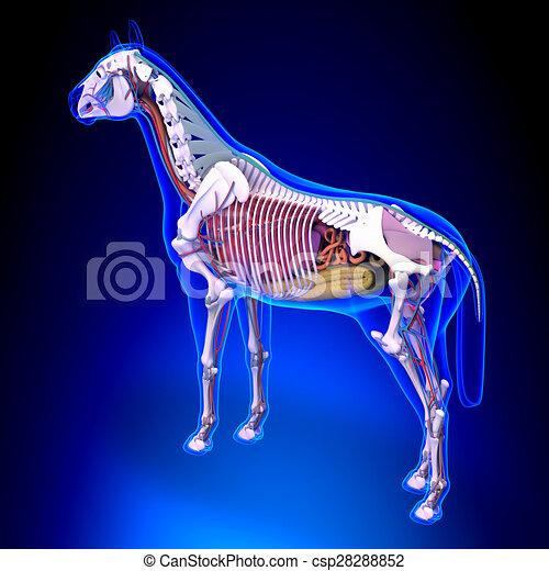 blaues, pferd, -, zurück, koerperbau, intern, hintergrund, ansicht - csp28288852