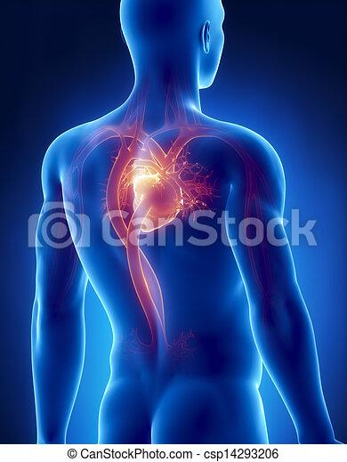 Kreislaufsystem männlicher Anatomie Posterior Röntgenblick - csp14293206