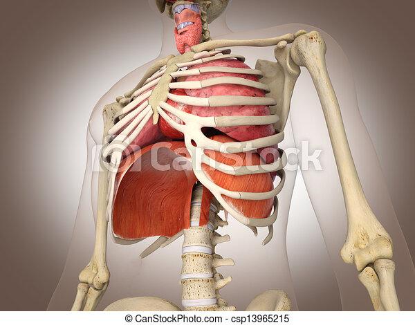d, organs., rendering., 3, intern, digitaler mann, skelett - csp13965215