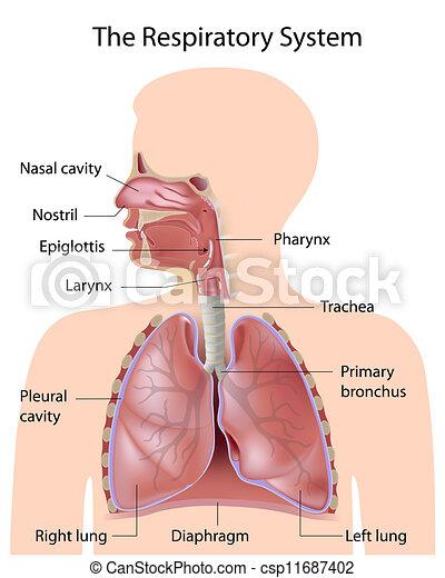 Das Atmungssystem, gekennzeichnet - csp11687402