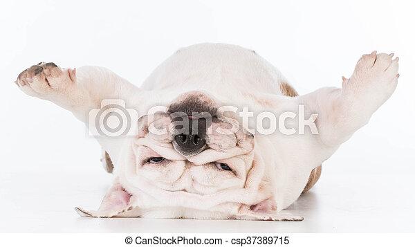 Der Hund liegt auf dem Kopf. - csp37389715