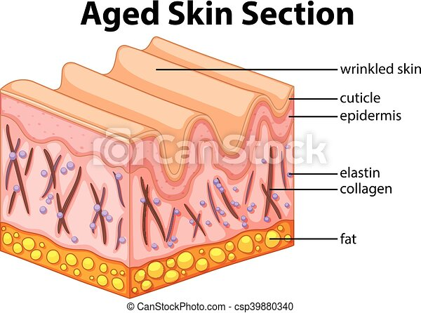 Alter Hautabschnitt Diagramm - csp39880340