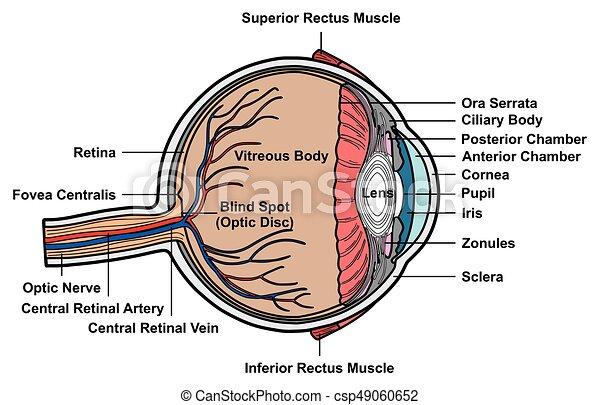 Das Anatomiediagramm des menschlichen Auges - csp49060652
