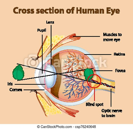 diagramm, kreuz, ausstellung, abschnitt, auge, menschliche  - csp76240648