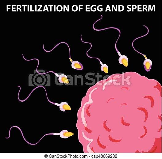 Diagramm mit Befruchtung von Ei und Sperma. - csp48669232