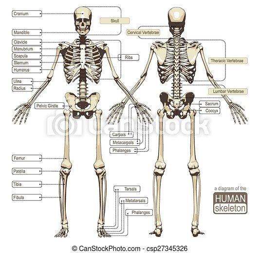 diagramm, skelett, menschliche  - csp27345326
