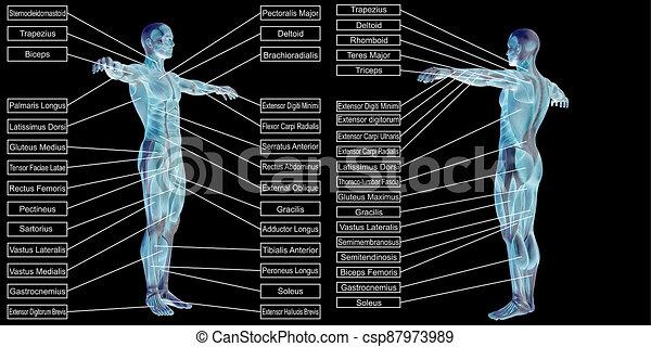 freigestellt, text, menschlicher muskel, mann, 3d, koerperbau - csp87973989