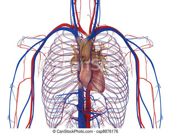 Herz, Arterien und Venen - csp8876176