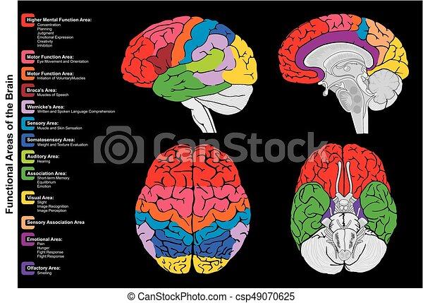 gehirn, diagramm, infographic, menschliche , funktional - csp49070625