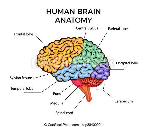 gehirn, menschliche anatomie - csp88400904