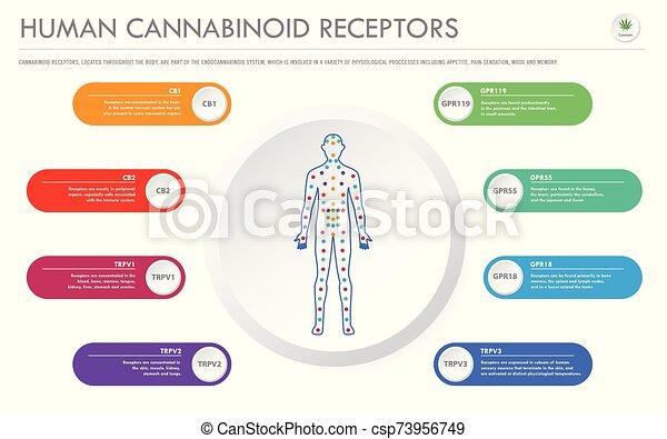 geschaeftswelt, menschliche , rezeptoren, infographic, horizontal, cannabinoid - csp73956749