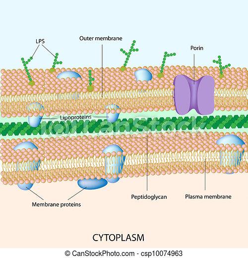 Gram negativ bakterielle Zellwand - csp10074963