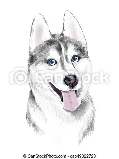 graue , heiser, oder, erwachsener, sibirsky, augenpaar, blaues, weißer hund, gesicht, sibirisch, dog. - csp49322720