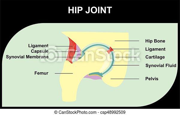 Hip Joint des anatomie menschlichen Körpers - csp48992509