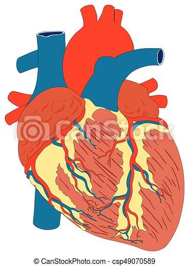 herz, koerperbau, diagramm, menschlicher muskel, struktur - csp49070589