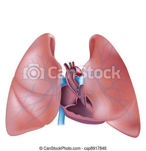Herz- und Lungenbereich - csp8917848