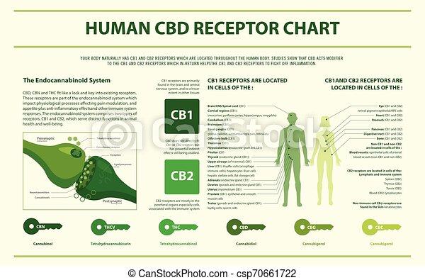 Human CBD Rezeptor Diagramm horizontal infographic. - csp70661722