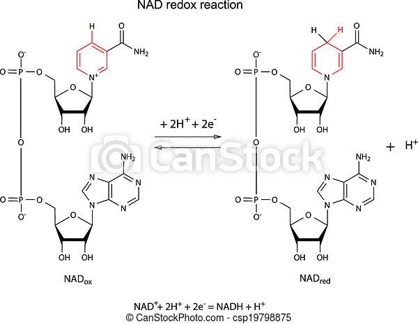 Illustration der NAD Redox Reaktion. - csp19798875