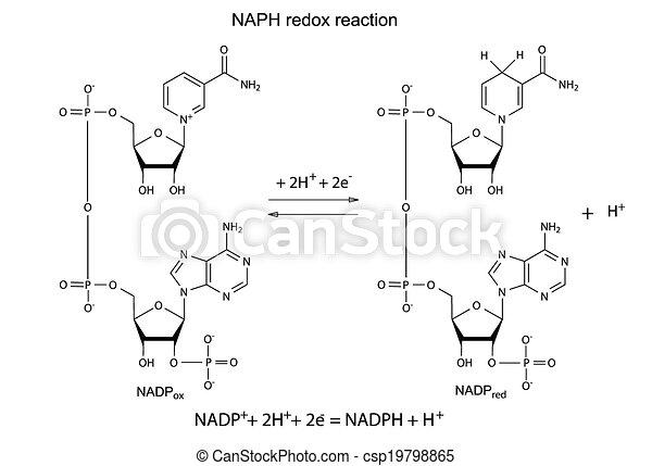 Illustration der NADP Redox Reaktion. - csp19798865