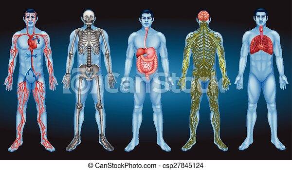 Innere Organe. - csp27845124