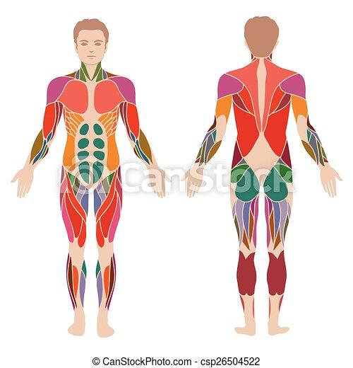 Körper, Muskel. - csp26504522