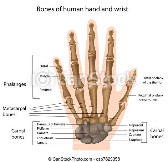 Knochen der Hand, Eps8 - csp7823358
