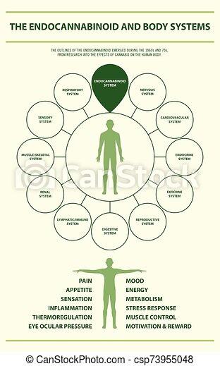 koerper, infographic, senkrecht, endocannabinoid, systeme - csp73955048