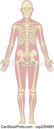 koerper, koerperbau, -, skelett, menschliche  - csp23048915