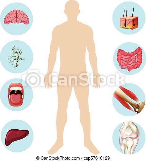 Menschliche Organanatomie Teil des Körpers - csp57610129