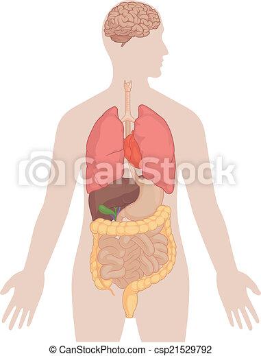 koerper, lungen, -, koerperbau, menschliches gehirn - csp21529792